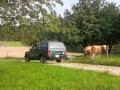 CATrophy - Auto - Kühe